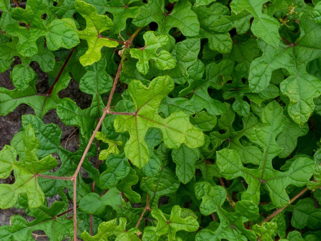 キレハノブドウ